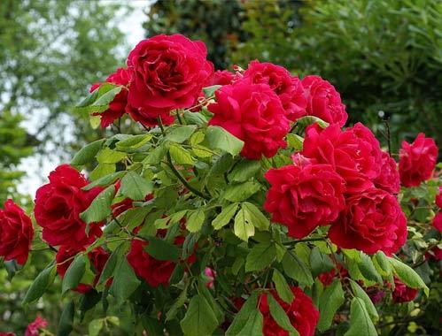 Coltivazione della rosa i consigli per una perfetta for Potatura delle rose