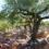La raccolta delle olive determinante per un buon olio