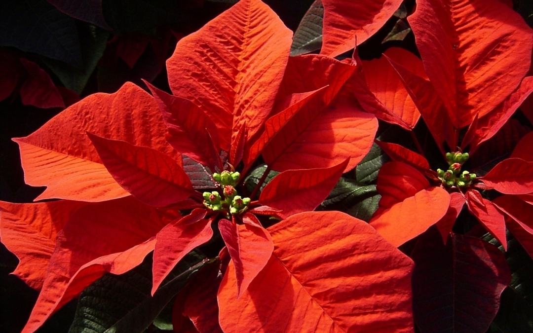 Quattro consigli per far durare a lungo la Stella di Natale