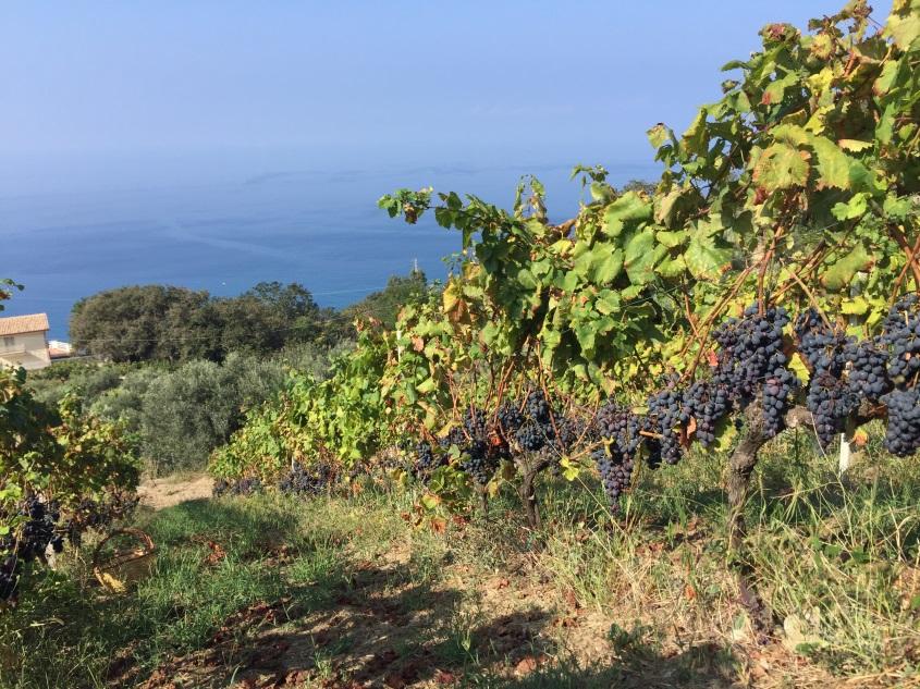 Vendemmia: il problema del basso grado zuccherino delle uve