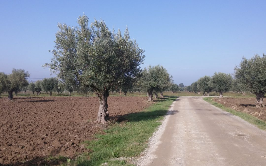 Caolino: il trattamento naturale contro la mosca dell'olivo