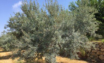 caolino trattamento olivo