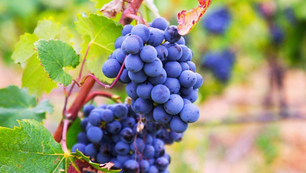 lievito ceppo bayanus per uva colpita dal caldo
